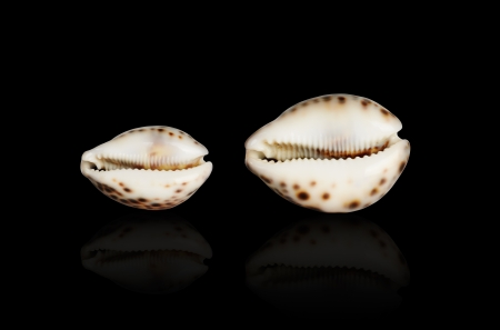 Seashell of Cypraea tigris. Bryukhonogy mollusk from tropical Indo-Pacific area. Stock Photo