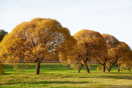 Lush gold willows