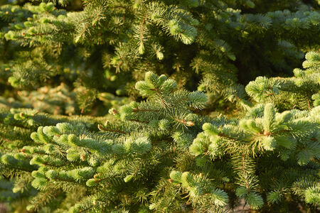 Fir forest thicket  Stock Photo
