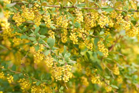 Spring. Bush blossoming in yellow flowers.