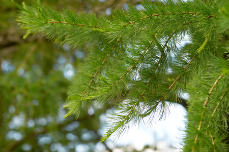 Closeup of green larch branches.