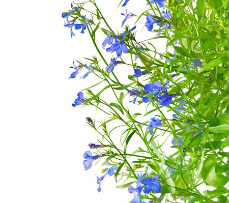 Blue blooming flowers of lobelia on white background. Campanulaceae. Space for text.