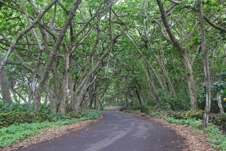 forested: Forested Canopy Road to Hana, Hawaii