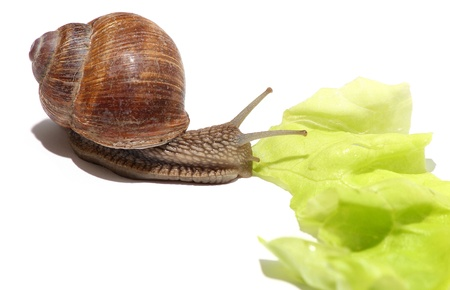 grapevine snail and salad