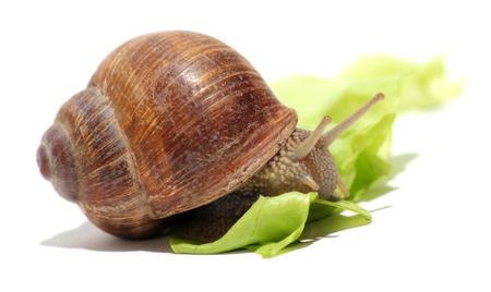 gastropod: snail and green lettuce