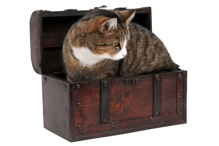 inquisitively: grey cat in treasure chest