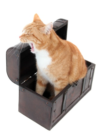 inquisitively: tired tomcat in treasure chest Stock Photo