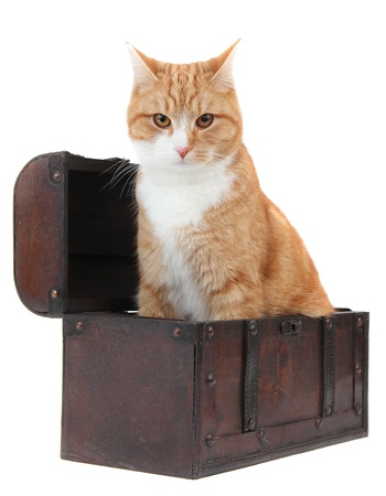 inquisitively: angry tomcat in treasure chest