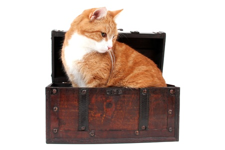 inquisitively: sweet red cat in treasure chest