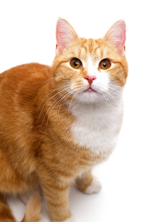 inquisitively: inquisitively tom cat