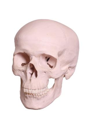 cranium Stock Photo - 17323929