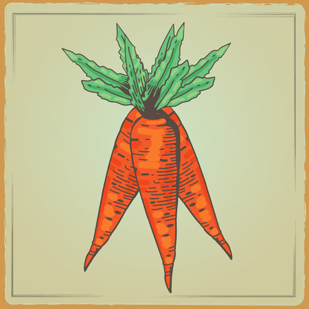 cartoon bouquet: Vegetable organic food carrots. Vector illustration Bouquet carrots. Carrots cartoon edited illustration. Carrots illustration in a engraving style on color background Illustration