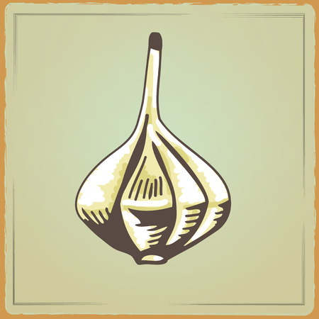 flavoring: Vegetable organic food Garlic. Vector illustration flavoring. Garlic cartoon image in a hand draw style. Vector Illustration in a Engraving style on Vintage background