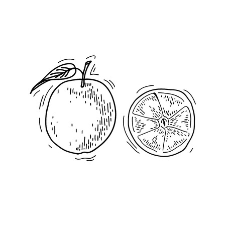 Freehand drawing fruit. Vector illustration. Fruits. Vector fruits at engraving style. Hand drawn illustrations of fruits. Fruit in sketch style. Vector orange