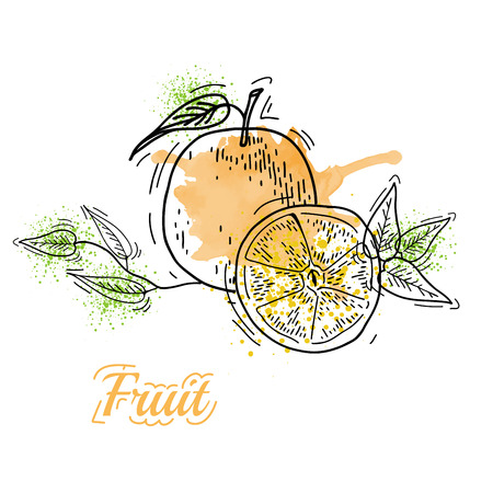 Watercolor drawing fruit. Vector illustration. Fruits. Vector fruits at engraving style. Hand drawn illustrations of fruits. Fruit in sketch style. Vector orange