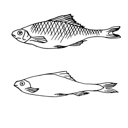 plato de pescado: Dibujado a mano ilustraciones del vector de pescado. Ilustraci�n del vector con la l�nea de boceto peces de arte. Peces vectorial. pescado en boceto grabado estilo dibujo a mano para el dise�o