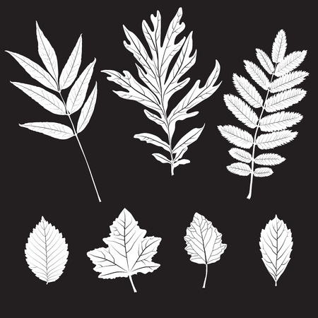 colection: Black and white colors leaves. Realistic shape leaves isolated on blackboard. Vector silhouette leaves. Floral and botany background. Set or colection of white leaves on black background Illustration