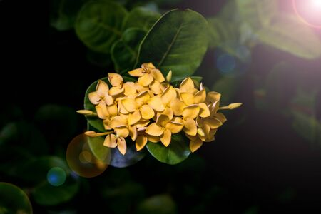 close up of yellow Ixora flower in the morning . Stock Photo