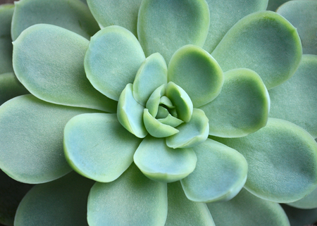 echeveria chihuahuaensis Stock Photo