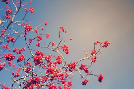 Red berries hawthorn in the sky. toned