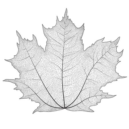 dry leaf: Vector drawing of a maple leaf. The veins on the leaves of the maple.
