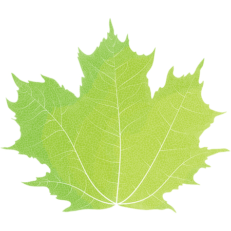 veining: Realistic drawing of autumn maple leaves. The veins on the leaves of the maple. Illustration