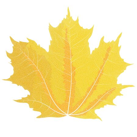 autumn leaves background: Realistic drawing of autumn maple leaves. The veins on the leaves of the maple. Illustration
