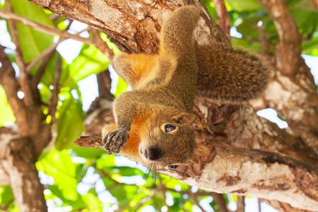 バリ島のリス バナナのクロワッサン 写真素材