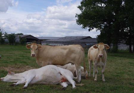 herbage: cows