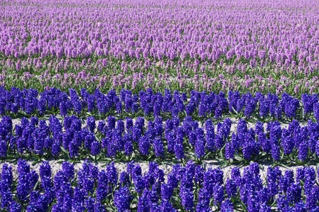 hyacinths: Hyacinths