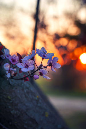 seasonality: Spring flowering cherry in the sunset light Stock Photo