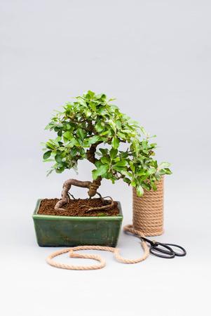 屋内植物の世話をするハサミで明るい灰色の背景に盆栽。