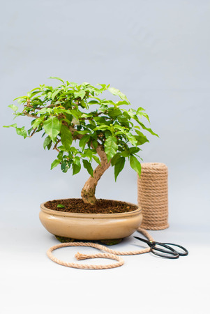 Bonsai on a light gray background with scissors to care for indoor plants.