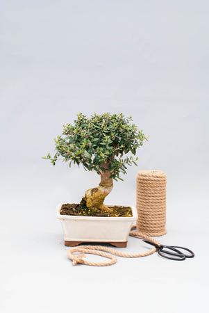Bonsai na světle šedém pozadí s nůžkami, které se starají o vnitřní rostliny.