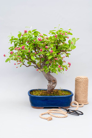 Blossoming apple bonsai with tools on a light gray background.