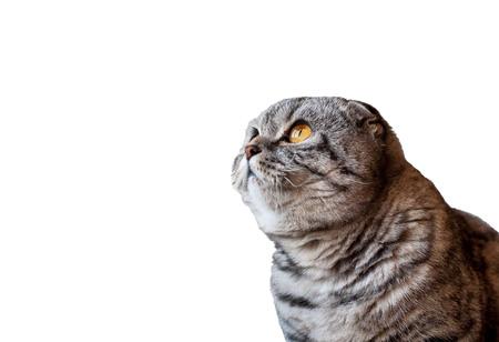 スコティッシュフォールド猫白い背景に分離されました。猫探しています。オレンジ色の大きな目のスコティッシュフォールドの猫。 写真素材