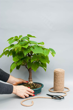 Japanese bonsai in a ceramic pot. Bonsai on a gray background. Houseplant on a simple gray background.