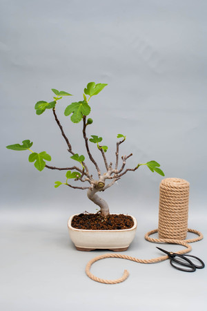 Bonsai fig with an unripe fruit on a gray background. Green bonsai figs on a light gray background with a skein of rope. Stock Photo