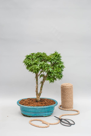 Japanese bonsai in a ceramic pot for indoor plants.