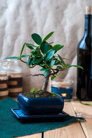 Bonsai ficus panda in a blue pot on a wooden table in the interior