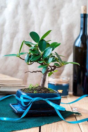 Bonsai ficus in a blue pot on a wooden table in the interior