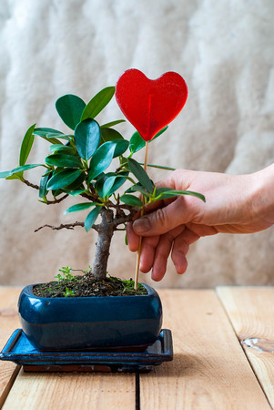 Bonsai ficus panda in a blue pot and candy in the shape of heart on a wooden table in the interior Stock Photo