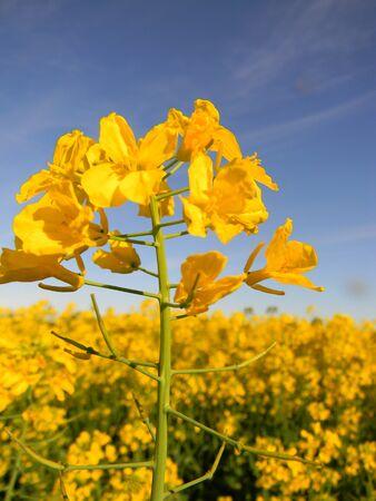 canola: Canola flower Stock Photo