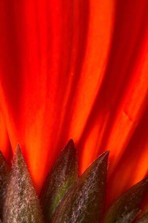 orientation: Closeup of a red gerber. Vertical, portrait orientation