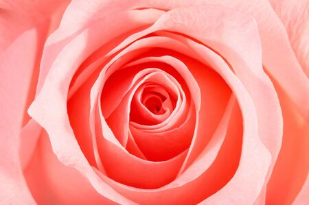 Closeup of a beautiful pink rose petals, horizontal, landscape orientation. Lighting a bit strong to bring out the lines. Stock Photo - 1149154