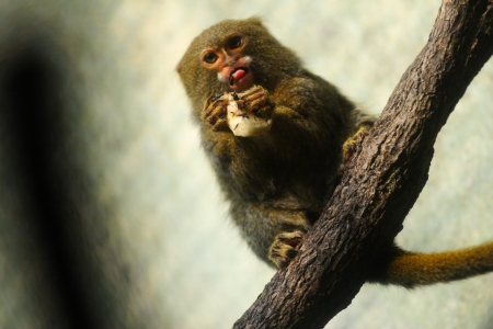 pigmy: A pygmy marmoset monkey - the smallest monkey in the world, eating a banana. This species is native to the rainforest canopies of western Brazil, southeastern Colombia, eastern Ecuador, and eastern Peru. Scientific name of the species: Callithrix (Cebuell