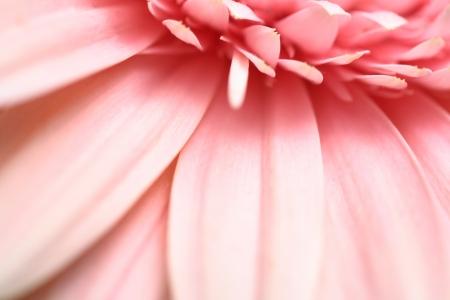 A macro photograph of the petals of a pink gerbera flower. Stock Photo - 20392474