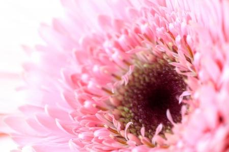 A macro photograph of a pink gerbera flower. Stock Photo - 20392508
