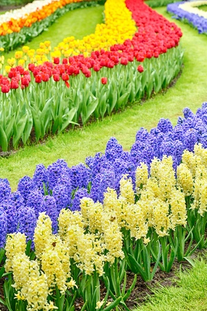 Rows of purple and yellow hyacinthus orientalis flowers among tulips and grass  photo
