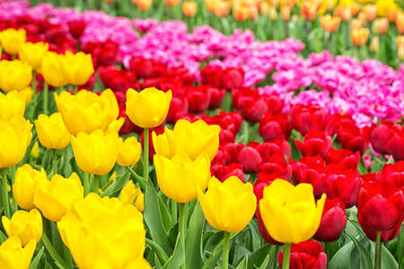 Closeup image of a garden with Dutch tulips in yellow, red and pink Stock Photo - 21229908